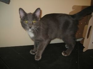 SWEET GREY MALE NEUTERED CATE....