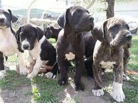 Great Dane pups arriving in January