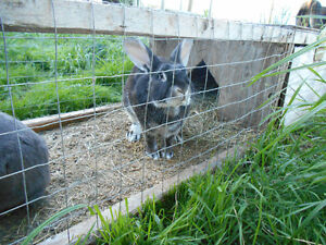 Large Flemish Giants and New Zealand Rabbits