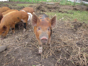 Outdoor raised piglets/ pigs