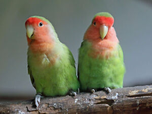 breeding pair of peach faced lovebirds comes with cage and toys