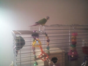 Breeding pair of concures for sale
