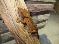 Crested Geckos for sale @ Prehistoric Pet Evolution