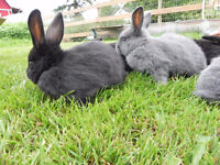 Baby rabbits / bunnies for sale