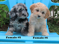 Cockapoo puppies, Blond and very rare BLUE MERLE