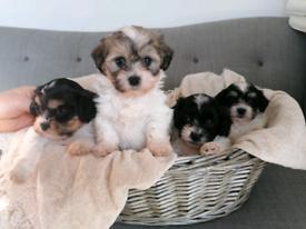 Puppy/ pup/ Puppies Bichon X Shih Tzu (Zuchon)