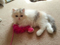 Gorgeous Pure Persian female kittens
