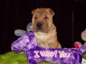 CHINESE SHAR - PEI PUPPIES * FULLY HOUSE TRAINED * ONLY 3 LEFT