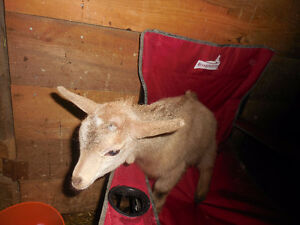 Sold: Bottle fed Wethered Baby Nigerian Dwarf Goat
