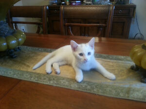 Two White Male Kittens for a Loving Home