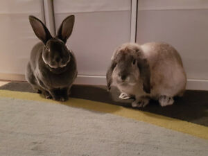 pair of bonded rabbits, litter trained