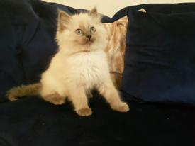 Beautiful pure ragdoll kittens