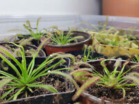 drosera capensis plant's (fruit fly catching plant)
