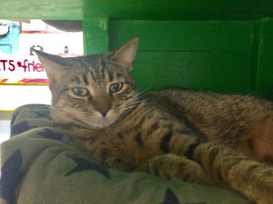 "Female cat one-two years old Tabby brown -""JACKIE"""