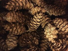 Fir Cones Pine Cones for sale
