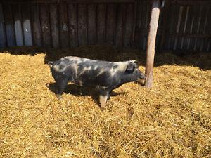 Pigs Boar, feeders, and weanlings for sale