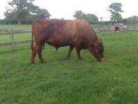 Dexter Bulls