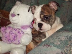 English Bulldog Female Puppy * Brindle & White  *