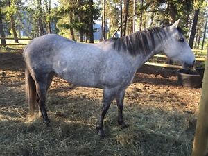 Big well bred qh marr