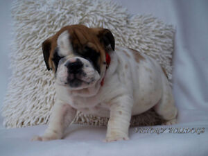 Top Quality Reg'd CH English and French Bulldog Pups London Ontario image 2