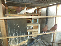 Pure white or Red homing/racing pigeons