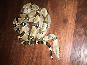Anery het Snow Boa Constrictor Snake