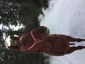 Cheval quator horse