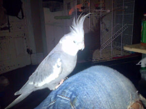Lost grey and white cockatiel