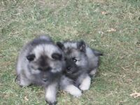 rare cute snuggly keeshond puppies