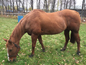 14 year old sorrel mare
