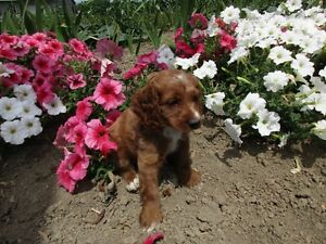 Red Cockapoo Puppies! Only One Male left!