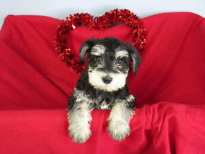 Puppies Gorgeous & Adorable Mini Schnauzer puppies available