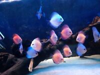 10 X Discus Mix Tropical Fish Beautiful Discusmodo Colour Pigeon Red Yellow Blue