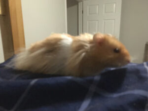 5 Month Old Syrian Hamster