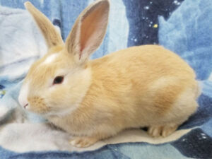 Sweet Blue Eyed Medium Sized Baby Bunnies - Litter Trained