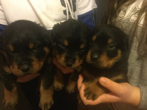 Rottweiler Adopt Dogs Puppies Locally In Ontario Kijiji