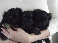 Two Beautiful Male Shiranians Puppies for Sale!