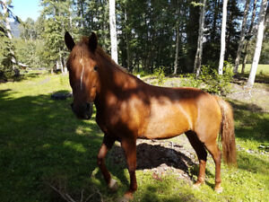 SUPER TRAIL HORSE FOR SALE: **WARNING **