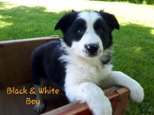 2 CBCA Registered Border Collie Puppies - Black & White