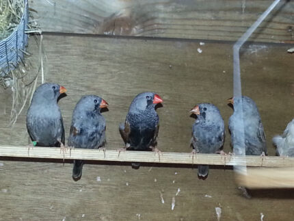 Zebra Finches [Charcoal] Punchbowl 2196 Canterbury Area Preview