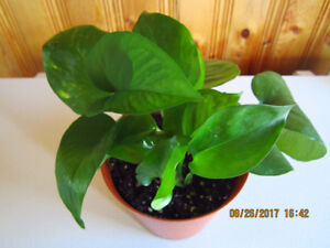 """Golden Pothos """"Marble Queen"""" - Air Purifying Plant"""