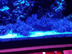 Super Easy Kenya Tree Corals Frag Reef Saltwater Aquarium Fish