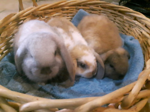 3 Baby Holland Lops