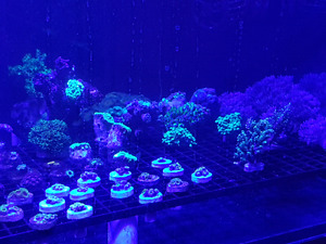 Saltwater coral frags