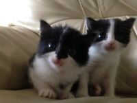 Black and White Kittens for Sale £70 ono