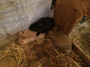 Baby Bunnies for sale Stratford Kitchener Area image 2