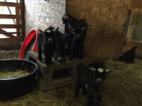 Adorable Baby Pygmy Goats