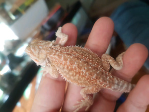 Red and Citrus bearded dragons