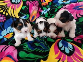 Yorkshire Terrier Biewer Puppies