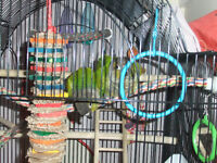 It's almost breeding time!!! Breeder Conures for sale!!!
